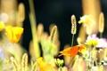 Картинка лето, цветы, природа, колоски, эшштольция