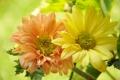 Картинка цветы, фото, крупным планом, маргаритка