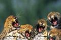 Картинка кошки, пасть, леопард, клыки, рык