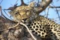 Картинка морда, отдых, хищник, дерево, взгляд, леопард
