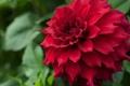 Картинка георгин, цветок, лепестки, макро, красный