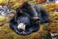 Картинка мох, сон, медведь, арт, Carl Brenders