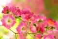 Картинка зелень, ветка, розовые, цветы