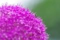 Картинка цветок, макро, природа, муравей
