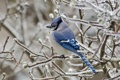 Картинка лед, зима, ветки, птица, голубая, сойка