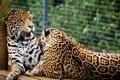 Картинка пара, дикие кошки, ягуары