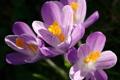 Картинка макро, цветы, весна, первоцвет, Крокусы