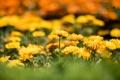 Картинка цветы, желтые, клумба, боке, календула