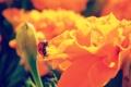 Картинка лето, макро, цветы, оранжевый, божья коровка, ярко