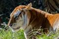 Картинка кошка, трава, профиль, золотой тигр