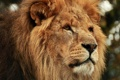 Картинка head, leon, feline