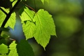 Картинка лето, листья, макро, зеленый, ветка