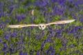 Картинка цветы, сова, птица, крылья, луг, полёт, колокольчики