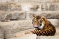 Картинка язык, кошка, взгляд, тигр, суматранский