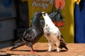 Картинка лето, птицы, природа, пара, голуби