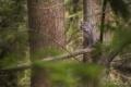 Картинка лес, деревья, природа, хищник, рысь