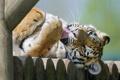 Картинка язык, кошка, умывание, амурский тигр, ©Tambako The Jaguar