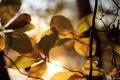 Картинка осень, листья, солнце, макро, свет, дерево, листва