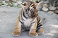 Картинка кошка, тигр, животное, тигренок