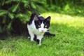 Картинка трава, кот, взгляд, ель