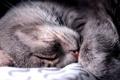 Картинка кошка, сон, покрывало, мордочка, спит