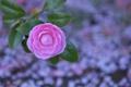 Картинка листья, фон, розовая, камелия