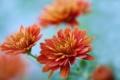Картинка цветы, оранжевая, ветка, хризантемы