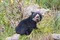 Картинка трава, медведь, медвежонок, детёныш, ©Tambako The Jaguar, очковый