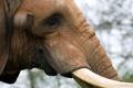Картинка трава, морда, слон, еда, хобот, бивень