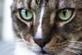 Картинка кошка, кот, морда, макро
