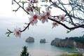 Картинка море, цветы, скалы, ветка, весна, яблоня