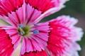 Картинка цветок, лепестки, китайская гвоздика