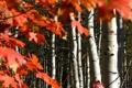 Картинка осень, лес, листья, Колорадо, США, роща, осина