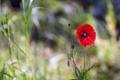 Картинка трава, красный, фон, мак, бутоны