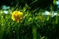 Картинка цветок, трава, луг