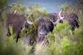 Картинка природа, фон, Buffalo