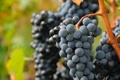 Картинка зелень, красный, природа, ягоды, куст, виноград, виноградник