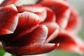 Картинка капли, цветок, бутон, красный