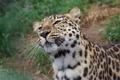 Картинка морда, хищник, дикая кошка, амурский леопард