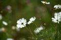 Картинка зелень, поле, цветы, белая, космея