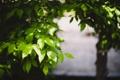 Картинка листья, зеленые, дерево
