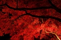 Картинка осень, листья, свет, ночь, ветки, дерево, клен