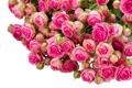 Картинка цветы, розы, бутоны, цветение