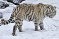 Картинка зима, дикая кошка, белый тигр, снег