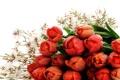 Картинка капли, тюльпаны, красные, белый фон