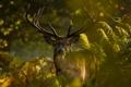 Картинка лес, природа, животное, рассвет, растения, олень, рога