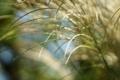 Картинка колоски, трава, солнце, природа, свет, макро