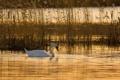 Картинка вода, камыш, лебедь