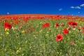 Картинка поле, небо, пейзаж, цветы, маки, горизонт