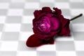 Картинка роза, фон, кровь